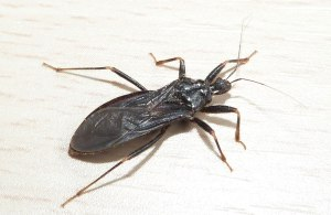 Assassin Bug (John Grearson)