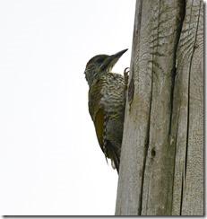 Grren Woodpecker